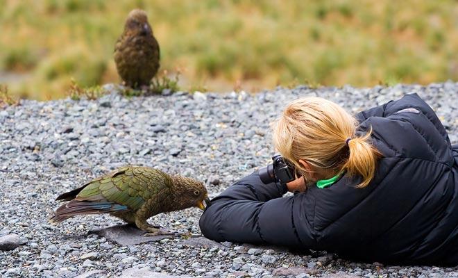 Nieuw-Zeeland heeft de meest intelligente vogel ter wereld: de kea.