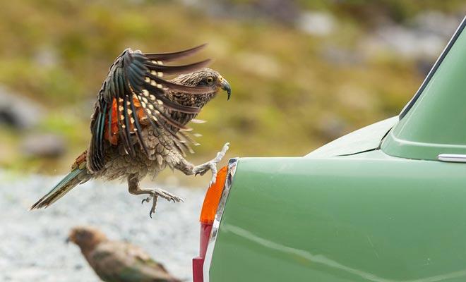 De kea papegaai heeft rubberen afdichtingen. Hij eet ze niet, maar plezier om ze te knuffelen. Dit maakt uw auto een voorkeursdoel.
