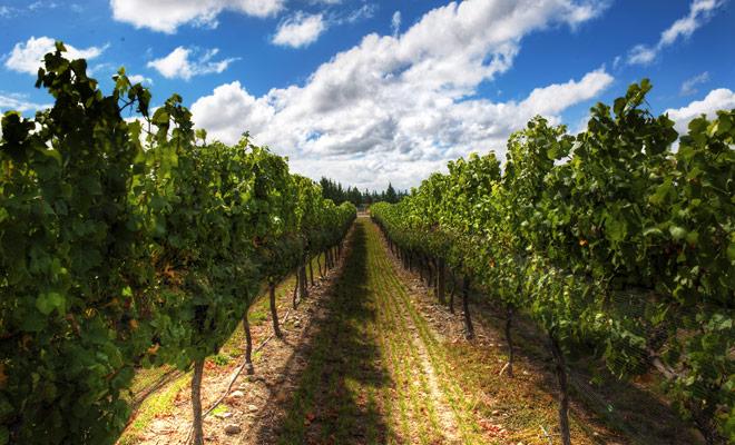 La producción de Wairarapa es una de las más pequeñas del país, pero su calidad es excelente y merece que se tome el tiempo para probar dos o tres vinos en una bodega local.