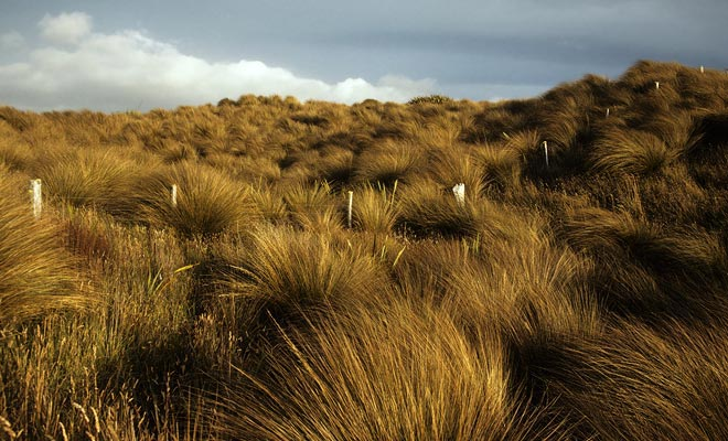 El tussack, una hierba amarilla constantemente barrida por un viento potente da Mason Bay gran encanto.