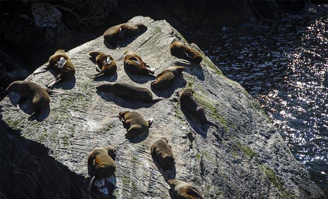 Net voordat je de Tasman zee bereikt, kunt u een kolonie bontzegels zien die op de rotsen opwarmen.