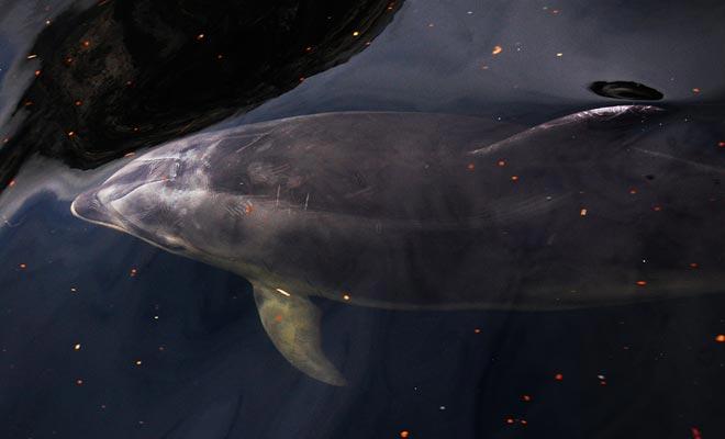 Er wordt geschat dat er ongeveer 40 dolfijnen zwemmen. Cruiseschepen worden opgevraagd om hun afstand te houden om ze niet te storen.