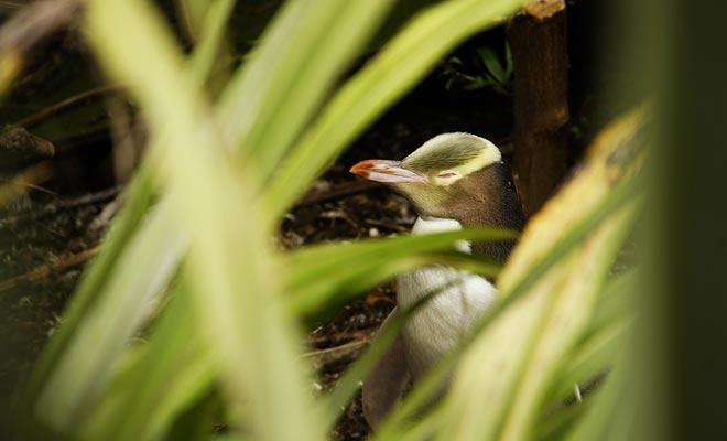 Hay que ser discreto para observar a los pingüinos de ojos amarillos para no molestarlos. Es una especie protegida.