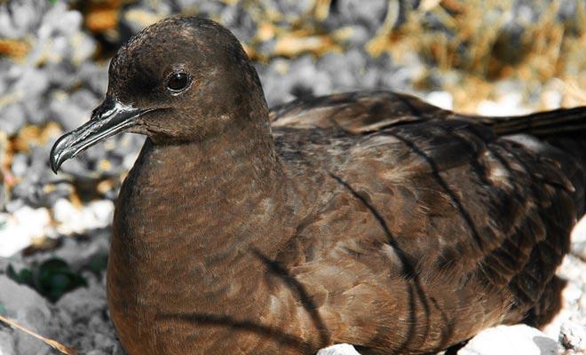 Men zou kunnen voorstellen dat het White Island zonder dieren leven, maar dat is het niet. Een kolonie schapenvogels vestigde zich op de flanken van de vulkaan. De Maori waren al achtervolgd toen ze zwavel op het vulkaan eiland kwamen.