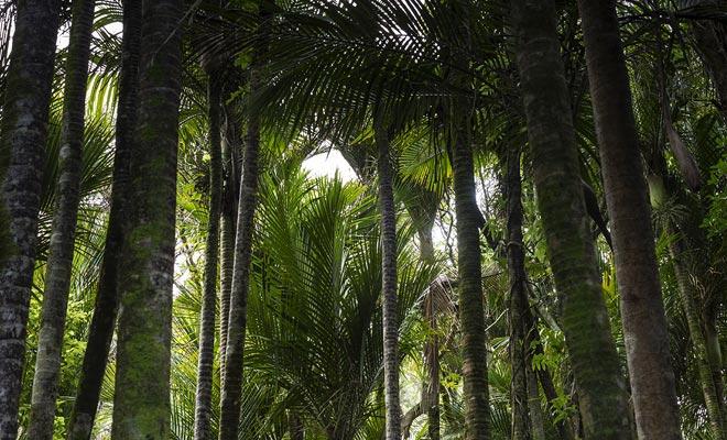 En tal latitud baja, las palmeras no pueden crecer. Sin embargo, un microclima permite que el nikau crezca en el Parque Nacional Paparoa.