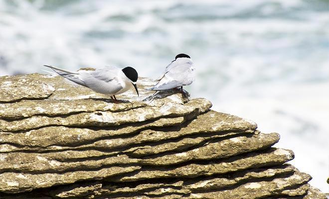 De tumult van de golven die de rots trekken, indruk maakt niet op de vogels die in de holtes van de rots wonen.