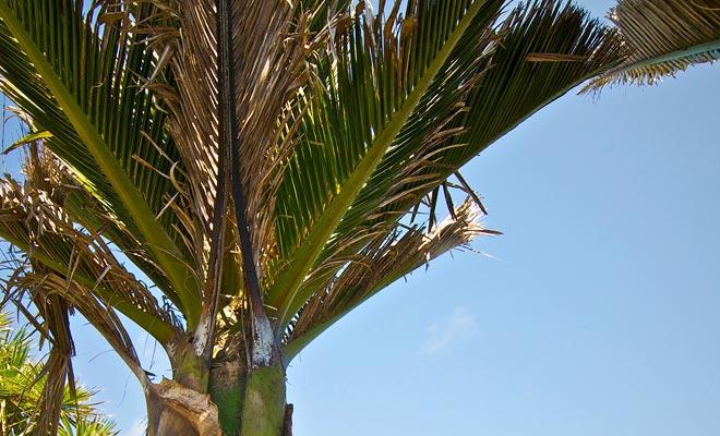 Op dergelijke lage breedtegraden mag men dit soort palm niet tegenkomen. Maar het Nationaal Park Paparoa heeft een uitzonderlijk microklimaat.
