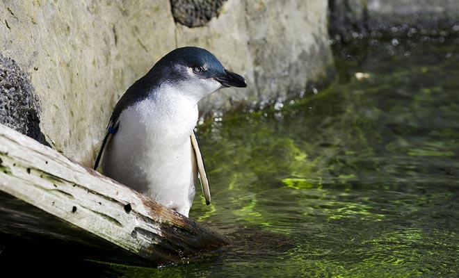 De blauwe pinguïns hebben de bijzonderheid om heel bang te zijn. Veilige afstanden moeten bewaard worden om ze te observeren.