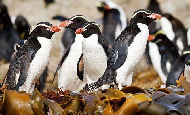 Los pingüinos pasan gran parte de su día en la playa, y se puede observar fácilmente en las cercanías de Dunedin.