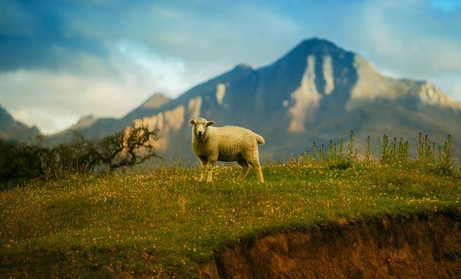 Para crear pastos, los maoríes, a continuación, los occidentales han deforestado considerablemente las dos islas de Nueva Zelanda. Durante 20 años, la población ha estado trabajando para reparar el daño.