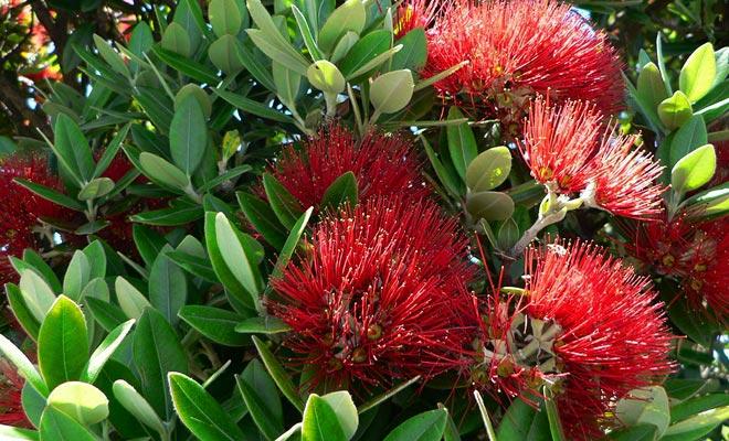 El pohutukawa debe su apodo de árbol de Navidad porque está cubierto con flores rojas durante las fiestas del final del año.