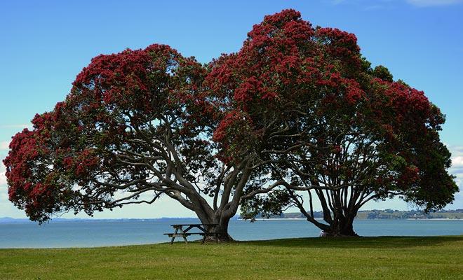 El pohutukawa está cubierto con flores rojas a principios del verano. Como esta temporada coincide con la temporada de vacaciones, se llama el árbol de Navidad.
