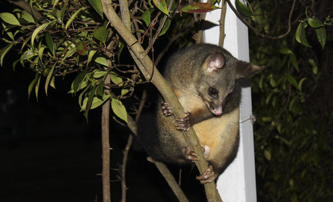 El gusano es más eficaz que una motosierra cuando se trata de cortar un árbol, porque la vegetación de Nueva Zelanda es literalmente devastada por este pequeño roedor.