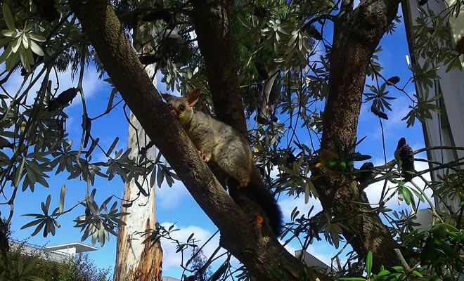 El gusano fue introducido de Australia por los colonos que cambiaron su piel, pero en libertad, esta criatura inmediatamente comenzó a devastar las plantaciones y la vegetación.