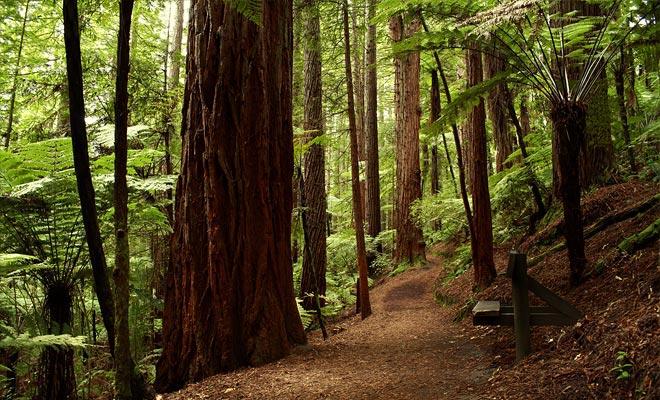 El bosque nació de un proyecto que apuntaba a plantar diferentes especies arbóreas para medir su adaptación al clima de la región. El gigante costero California Redwood demostró ser especialmente bien adaptado a Nueva Zelanda.