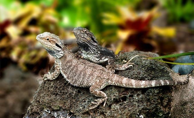 ¡Contemplan una especie que viene de la era de los dinosaurios! ¡El tuatara es un lagarto que ya existía hace 65 millones de años! La especie ha sobrevivido hasta el día de hoy, pero ahora está en peligro de extinción.