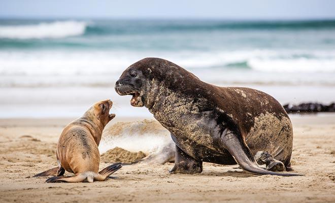 Los lobos marinos se encuentran en las Islas del Norte y del Sur. Observe la diferencia de tamaño entre un macho y una hembra ...