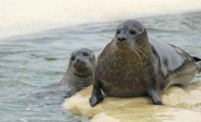 De zeeleeuwen zijn schuchter, maar ook erg nieuwsgierig en zij aarzelen niet om de kajaks zeer nauwlettend te observeren als ze de kans hebben.