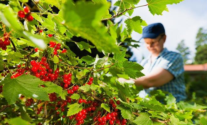 Om van een boerderij naar een andere over te schakelen, gebruiken seizoenswerkers vaak de bus. Met loyaliteitskaarten kunt u kortingen verdienen.