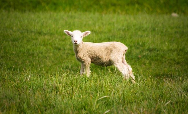 Hace 30 años Nueva Zelanda tenía 70 millones de ovejas. Todavía son 30 millones en las praderas.