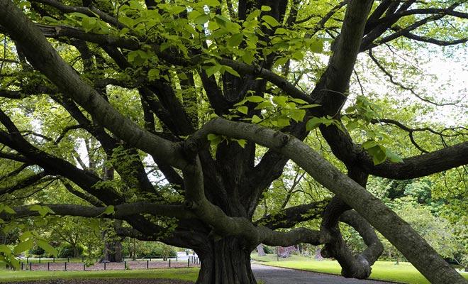 Las dimensiones de las ramas a menudo sorprenden a los visitantes. Sin embargo, este tipo de árbol se encuentra incluso en jardines públicos (en Christchurch, por ejemplo).