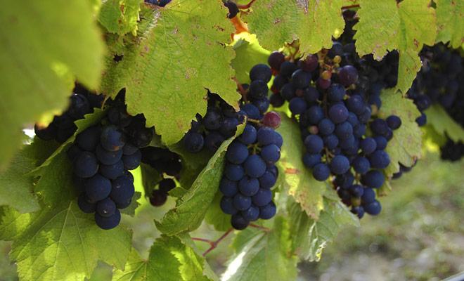 Los viñedos del Waikato disfrutar de un hermoso sol y un clima templado durante todo el año.