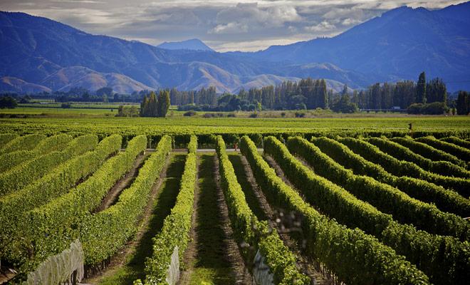El viñedo de Saint Clair se encuentra en la zona de Marlborough en el extremo norte de la Isla Sur de Nueva Zelanda. Es en esta región donde producimos los mejores salvajes blancos del país, e incluso del mundo.