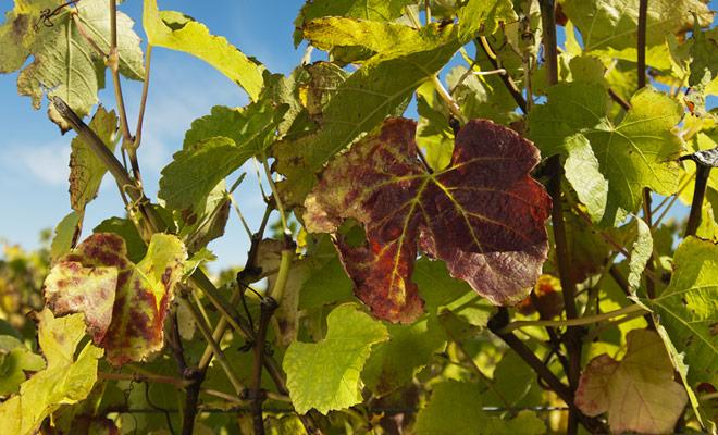Las primeras cepas de Nueva Zelanda fueron plantadas por los colonos británicos. Los vinos producidos eran mediocres o malos. La renovación completa de las variedades de uva en los años ochenta que cambiaron la situación fue una verdadera revolución.