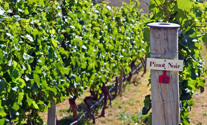 La región central de Otago ofrece excelentes vinos gracias a su clima seco y soleado, pero sobre todo gracias a la riqueza de su tierra.