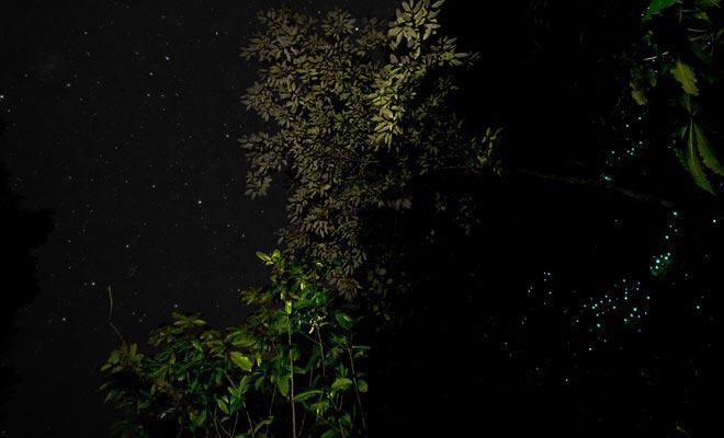 Als u claustrofobisch bent, wordt u niet genoegen van bewonderende gloedwormen. Het is genoeg om in het bos te wandelen om ze te ontdekken.