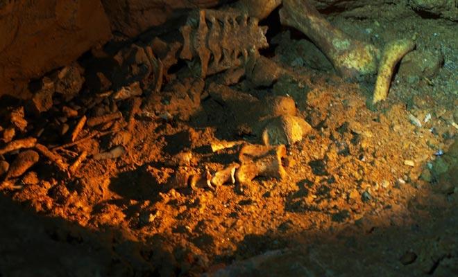 Algunos animales como el moa (ahora extinto) se han perdido en las cuevas. A veces engañados por la luz de los gusanos, los pobres bestias vagaban sin cesar en la oscuridad antes de morir de agotamiento.