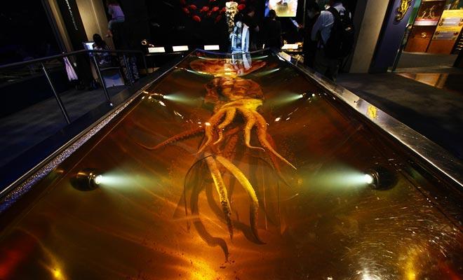 El Museo Te Papa exhibe el calamar más grande descubierto en un baño de formaldehído.