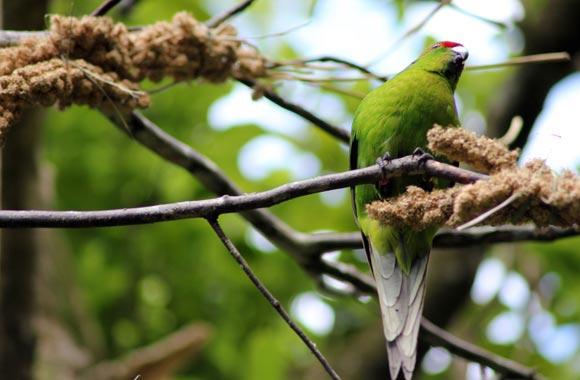 Algunas especies emblemáticas de Nueva Zelanda están ahora amenazadas de extinción. El santuario de Zealandia hace posible mantener estas especies protegidas de los depredadores que son en su mayoría simples perros o gatos.