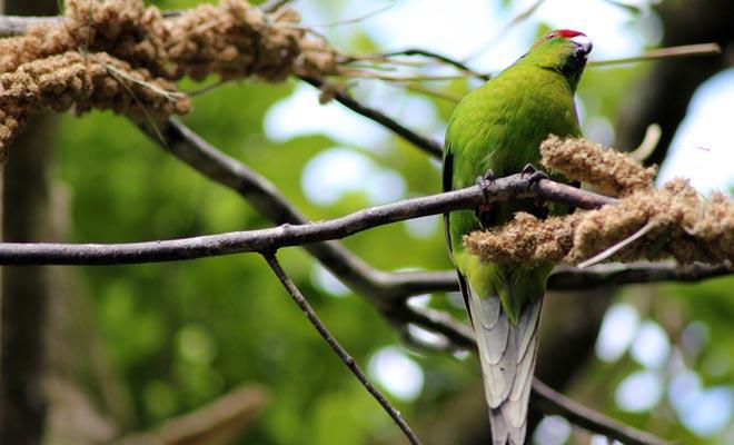 Algunas especies emblemáticas de Nueva Zelanda están amenazadas de extinción. El santuario de Zealandia hace posible mantener estas especies al abrigo de los depredadores que son en su mayoría simples perros o gatos.