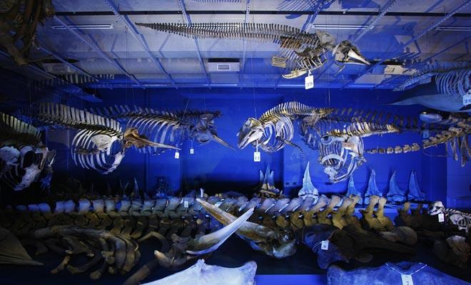 Muchos esqueletos de dinosaurios están expuestos en el museo Te Papa.