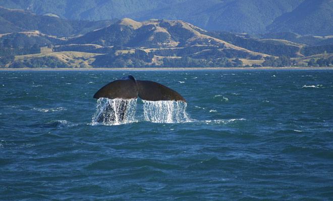 No hay estaciones ideales para la observación de ballenas en Nueva Zelanda, ya que están presentes todo el tiempo en la península de Kaikoura.