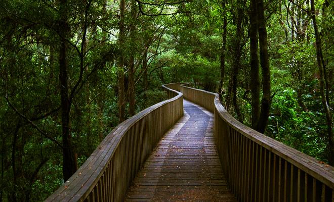 De korte wandeling in het AH Reed Kauri Park is een bezoek waard, alleen als gevolg van de eerbiedige leeftijd van deze bomen, sommige van hen meer dan 500 jaar oud!