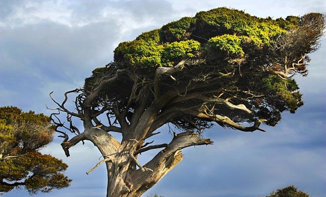 Nieuw-Zeeland is in de 40e Roaring. De krachtige wind buigt de bomen in zeer originele houdingen.