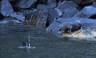 Een kolonie zeeleeuwen ligt niet ver van de Tasman zee