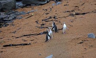 De pinguïnen zijn niet ver van de Katiki vuurtoren. Een observatorium maakt het mogelijk om ze op het strand te kijken zonder ze te storen.
