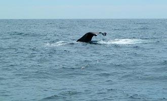 Paseos en barco permiten observar las ballenas que se sumergen en el cañón submarino.