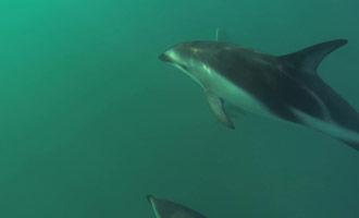 Este documental representa la natación con delfines en la Península de Kaikoura frente a la Isla Sur.