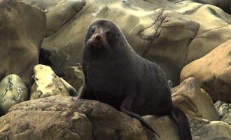 Un pequeño informe sobre los lobos marinos que pueblan las costas de Nueva Zelanda.