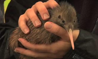 Descubra por qué es necesario proteger el kiwi, esta especie amenazada de extinción.