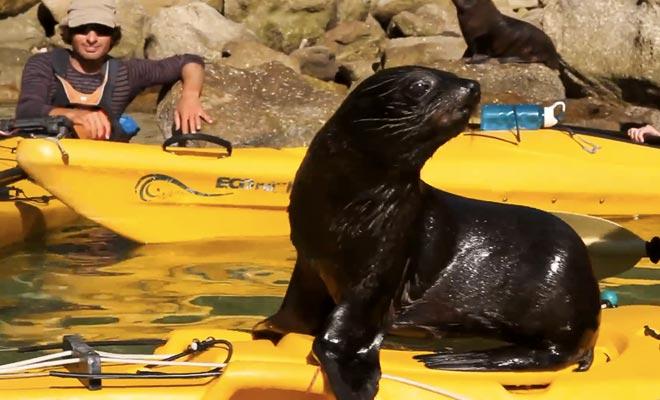 Il est interdit d'accoster sur l'île de Tonga Island, mais il arrive que des otaries s'approchent des kayaks avec curiosité.