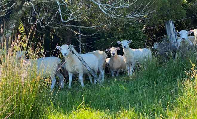 Moutons à Te Hapu