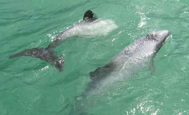 Baignade avec les dauphins d'Hector près de Curio Bay