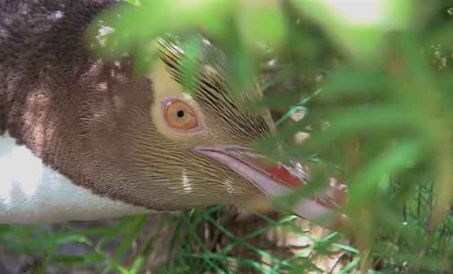 Reportage complet sur les Yellow-Eyed Penguins