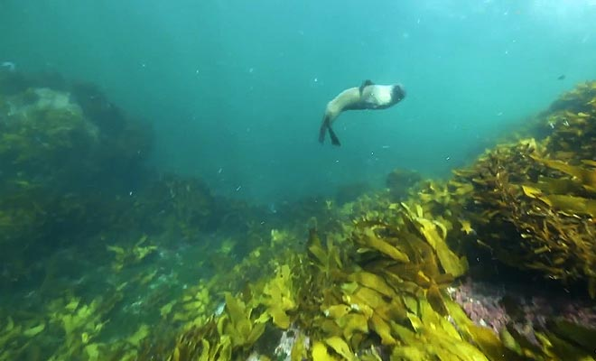 Si vous désirez découvrir la vie aquatique du fiord, vous pouvez participer à de la plongée sous-marine. Il arrive que des otaries vous approchent par curiosité.