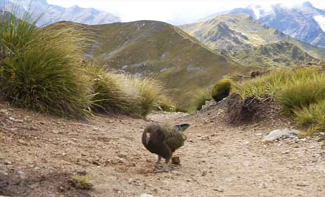Kea dans la nature sauvage